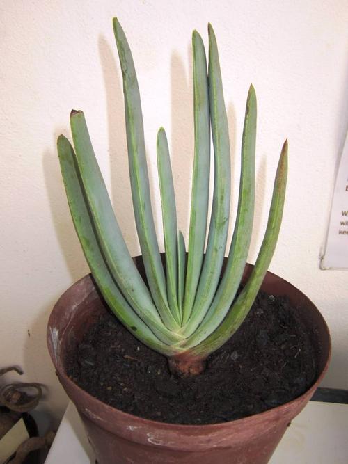 plants aloe plicatilis for sale in dewetsdorp id 187300666. Black Bedroom Furniture Sets. Home Design Ideas