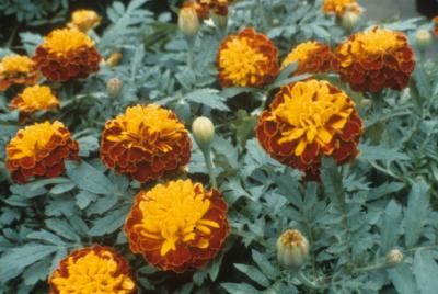 ends 1 jun 00 00 marigold seeds bonita mix 100 marigold seeds r8 00    French Marigold Dwarf