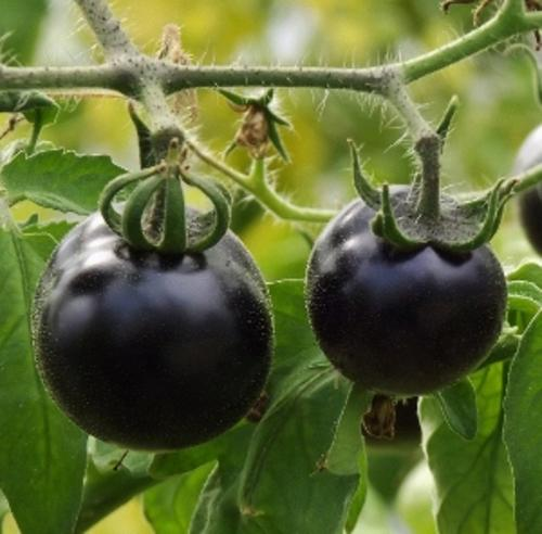 seeds bulbs tomato seeds indigo rose for sale in pretoria tshwane id 214457448. Black Bedroom Furniture Sets. Home Design Ideas